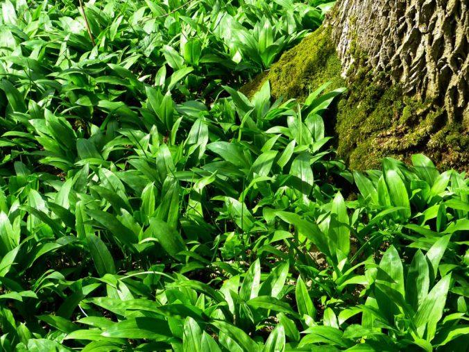Mladý medvedí cesnak v lese