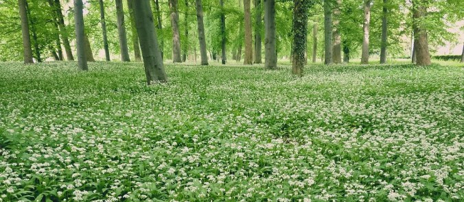 Medvedí cesnak v jarnom lese