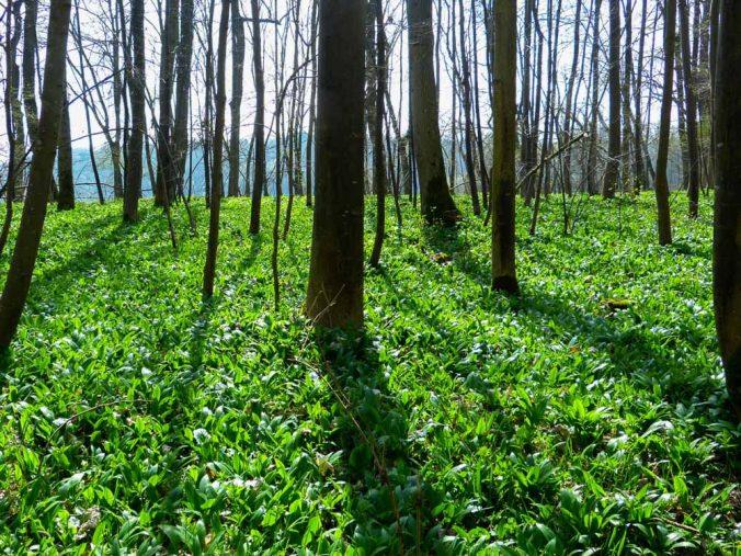 Medvedí cesnak rastie obvykle pokráva veľké plochy v lese