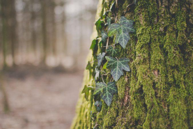 Strom obrastený machom a brečtanom